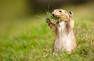 Фотография Сурок Трава Смешная Prairie Животные