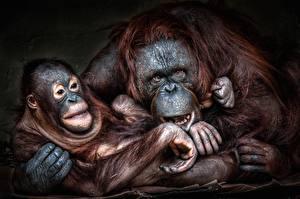 Картинка Обезьяны Детеныши Orangutan