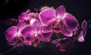 Фотографии Орхидея Вблизи Фиолетовая цветок