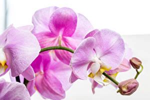 Фото Орхидеи Вблизи Белым фоном Розовый Цветы