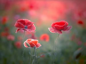 Картинка Маки Вблизи Красный Цветы