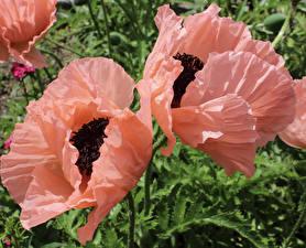 Фото Мак Вблизи Двое Розовых Цветы