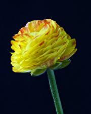 Картинки Лютик Вблизи Черный фон Желтый цветок