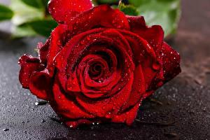 Картинки Розы Крупным планом Красная Капля