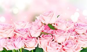 Фото Розы Розовые