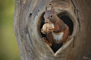 Картинка Белки Орехи Грецкий орех Животные