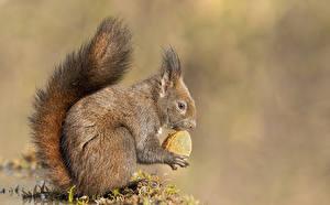 Картинки Белки Орехи Грецкий орех Хвоста Сбоку животное