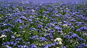 Картинки Лето Луга Боке Phacelia Цветы