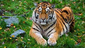 Фото Тигры Лежа Лап Трава Животные