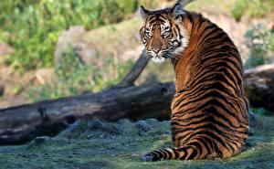 Фотография Тигр Сидящие Спины Вид сзади Позирует животное