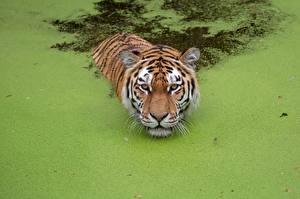 Фотографии Тигры Плавающий Болоте животное