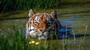 Картинка Тигры Воде Голова Болотом животное