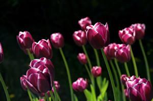 Обои для рабочего стола Тюльпаны Много На черном фоне Фиолетовый Цветы