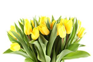 Фотография Тюльпан Много Белый фон Желтый цветок