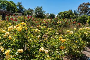 Картинки США Сады Розы Калифорния Кусты South Coast Botanic Garden Природа