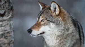 Картинка Волк Головы Морды Смотрит животное