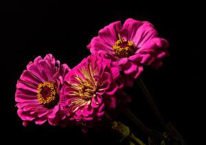 Обои Майоры На черном фоне Трое 3 Фиолетовый Цветы