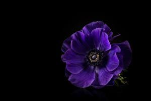 Фото Ветреница Вблизи На черном фоне Фиолетовая цветок