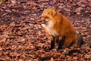 Фото Осенние Лисица Лист Сидящие Животные