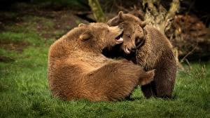 Картинки Медведь Два Играет Трава животное
