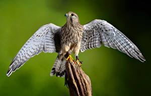 Фото Птица Размытый фон Крылья European Kestrel Животные
