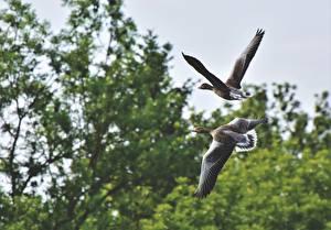 Обои для рабочего стола Птицы Гуси Два Летят животное