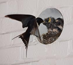 Фото Птицы Ласточки Птенец Гнезде