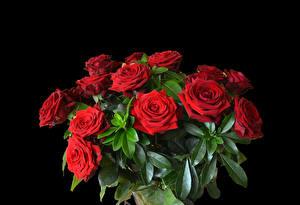 Обои Букеты Роза Черный фон Красный Цветы