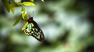 Картинки Бабочки Крупным планом Насекомое ornithoptera priamus urvillianus Животные
