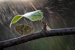 Фото Бабочки Дождь Ветвь Листва Roberto Aldrovandi Животные