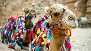 Фотография Верблюды Крупным планом Голова животное