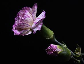 Фотографии Гвоздики Вблизи Черный фон Бутон Фиолетовые цветок