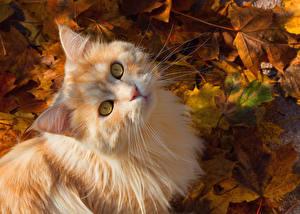Обои Кот Осенние Взгляд Листва Морды Рыжие