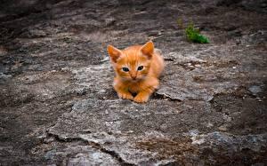 Фото Коты Рыжая Котенок животное