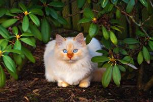 Обои Кошки Взгляд Животные картинки