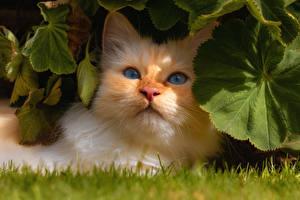 Обои Коты Морда Рыжая Листья Животные