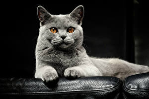 Обои для рабочего стола Кошка Морда Взгляд Серые Животные