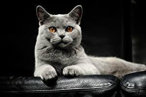Фото Кошка Морда Взгляд Серые Животные