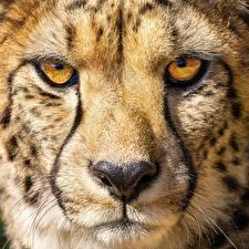Фотографии Гепард Макро Крупным планом Глаза Морда Нос Животные