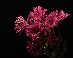 Картинка Хризантемы На черном фоне Розовый Цветы