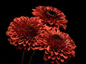 Обои Хризантемы Крупным планом Черный фон Трое 3 Оранжевый Цветы картинки