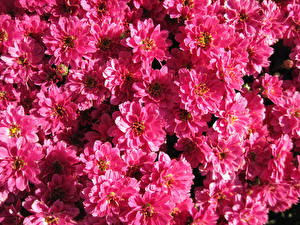 Фото Хризантемы Много Крупным планом Розовые