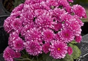 Картинки Хризантемы Много Розовый