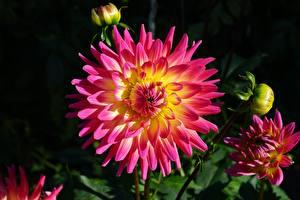 Фотографии Крупным планом Георгины Бутон цветок