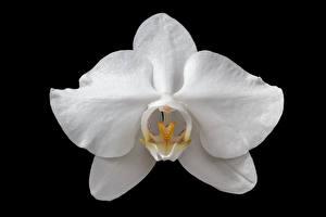 Фотография Крупным планом Орхидея Черный фон Белый цветок