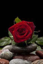 Обои для рабочего стола Крупным планом Камень Роза Капли