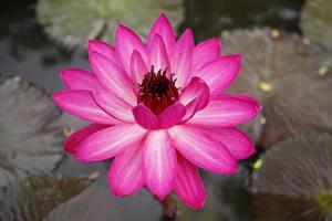 Фотографии Вблизи Кувшинки Розовый цветок