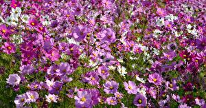 Картинка Космея Много Розовый цветок