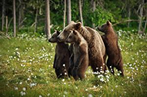 Фотографии Медведь Детеныши Гризли Четыре 4 Траве