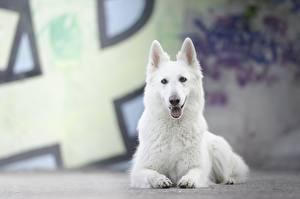 Фото Собаки Лежит Белый Овчарки Berger Blanc Suisse животное
